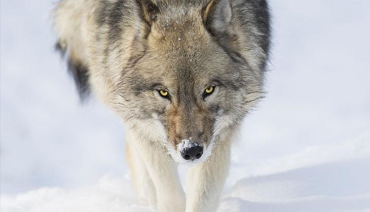 Non avere paura del lupo –  Intervista a Mia Canestrini